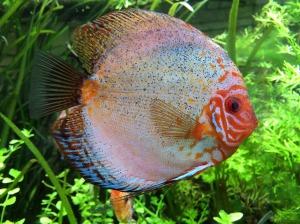discus-fish-1280708_1920