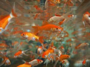 goldfish-178584_1920