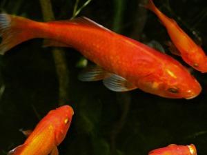 goldfish-239418_1920