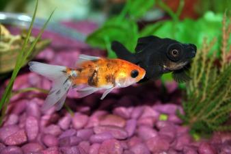 goldfish-672126_1920