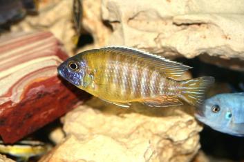 aulonocara-baenschi-1598353_1920