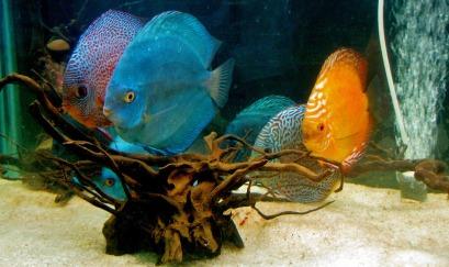 discus-fish-390743_1920