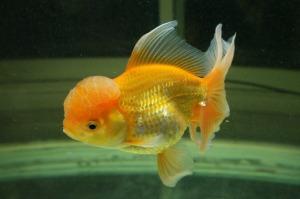 goldfish-1456247_1920