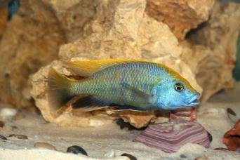 nimbochromis-venustus-1598391_1920